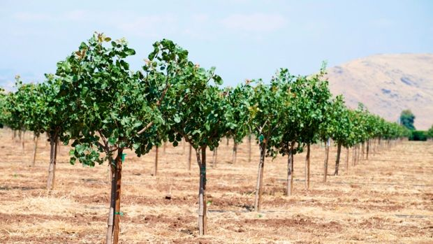 A pistachio orchard in Tulare County, California, was planted during California's five-year drought. A record 904 water wells were drilled in the county during 2015, in part to help sustain agricultural operations.