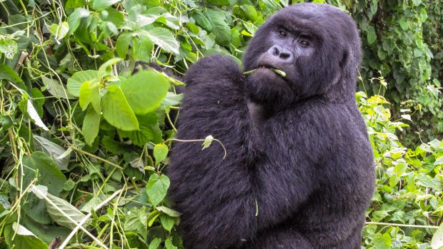 Habitat loss and hunting have driven some animals, such as the critically endangered mountain gorilla, to the brink of extinction.