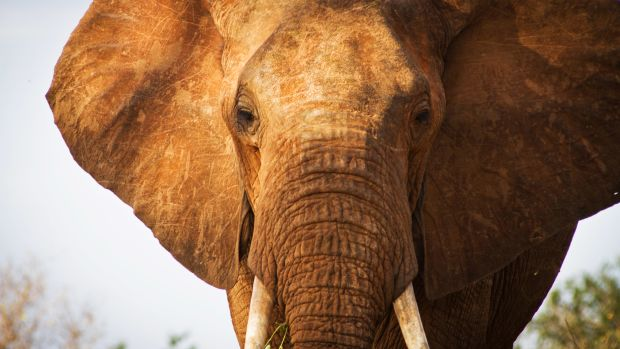 An elephant in Tsavo East National Park in southern Kenya on January 31st, 2013.