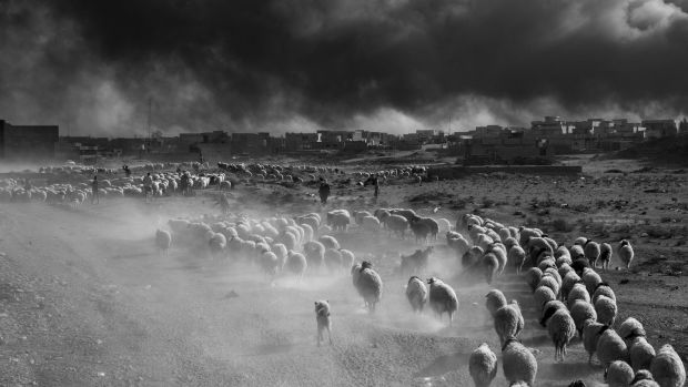 Qayyarah, Iraq, 2016: Farmers flee ISIS territory with their herds of sheep.