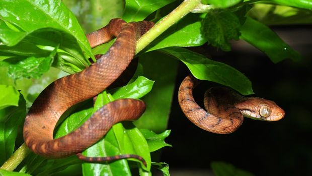 Brown tree snake.