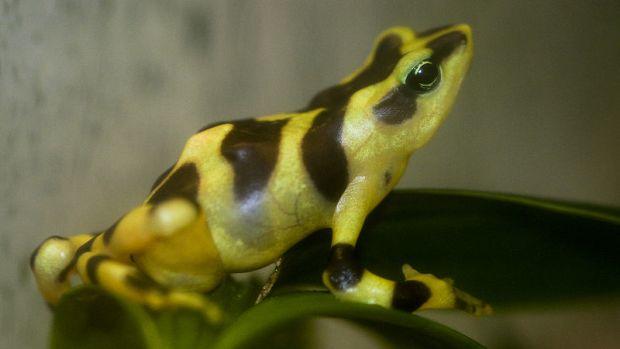 Atelopus varius a species of frog in Panama.