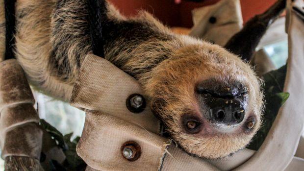 A sloth at the Sloth Center in Rainier, Oregon.