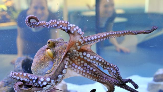 A young octopus on display.