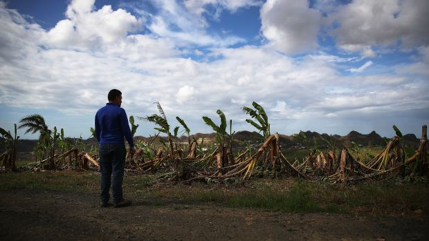 Banana trees are seen knocked over by the winds of Hurricane Maria, in Corozal, Puerto Rico, on October 2nd, 2017.