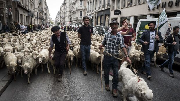 French farmers march their animals through the streets of Lyon on October 9th, 2017, to draw attention to rising wolf attacks on sheep herds, and to protest the government's plan for an organized cull.