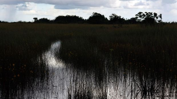 Sawgrass grows in a swampy area in the Everglades National Park, Florida.
