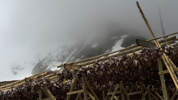 Cod heads hang to dry near Unstad beach in the Lofoten Islands within the Arctic Circle on April 17th, 2015.