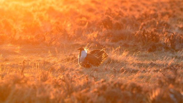 Greater sage grouse on the Wind River Reservation in Wyoming.