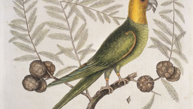 Engraving of a Carolina parakeet on Cypress tree, 1731.