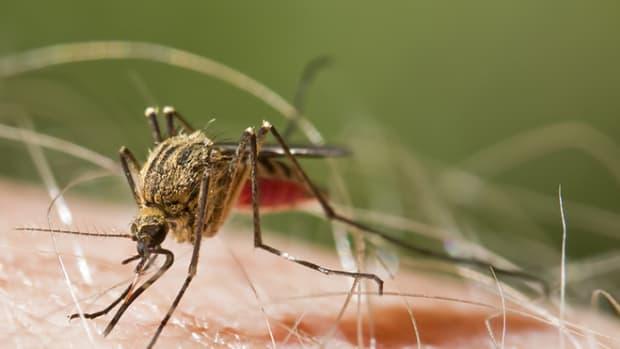 mosquito-