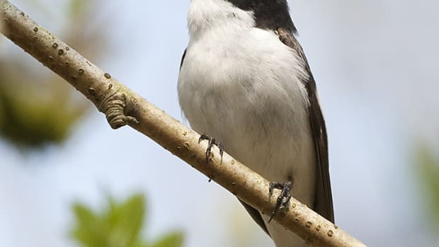 Ficedula_hypoleuca_-Wood_of_Cree_Nature_Reserve,_Scotland_-male-8a.jpg