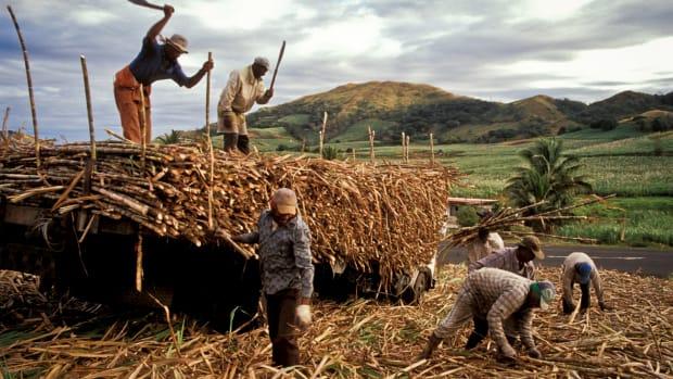 Field workers on a sugarcane farm in Fiji.