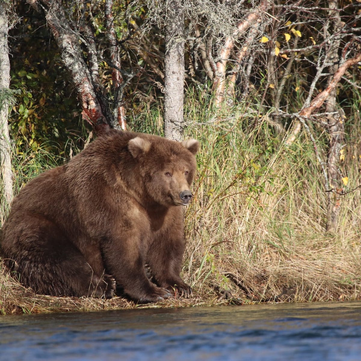 Fat Bear Week Is Over, but the Glory of America's Fattest Bears Lives on -  Pacific Standard