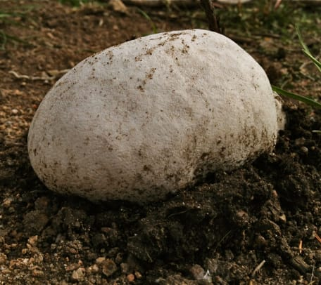 giant-puffball