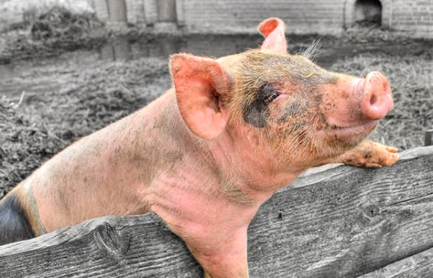Building a Better Pig - Pacific Standard