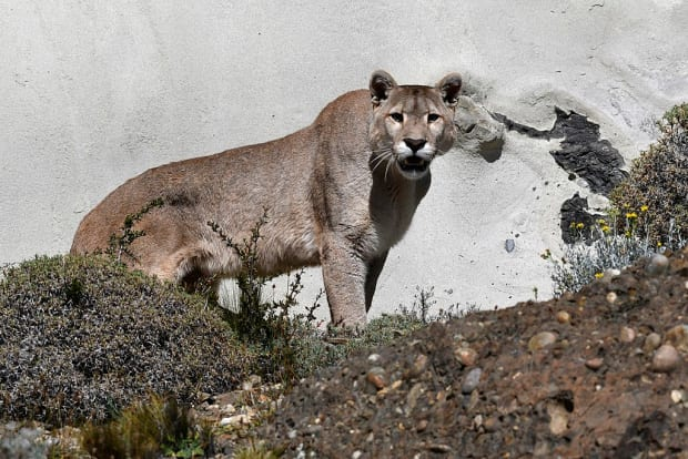 Why Puma Population Control Is Not Necessarily A Win For