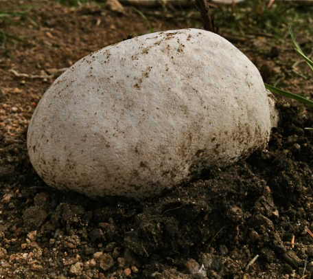 giant-puffball
