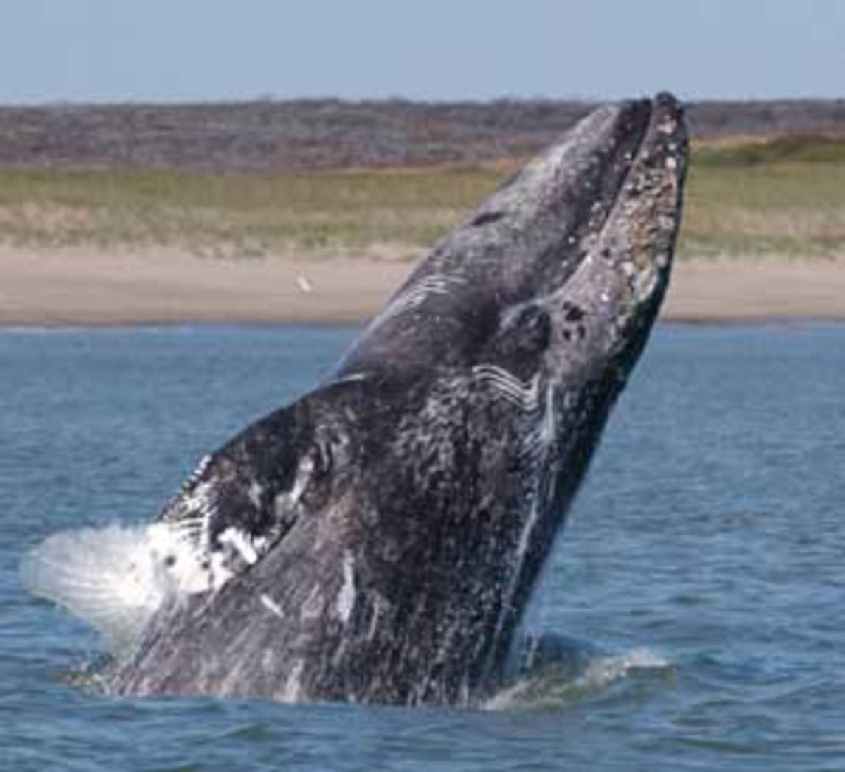 New wind-energy endeavors could be harmful to whales, so scientists are testing a new sonar technology to reroute migrating whales. (Dave Weller / ICUN)