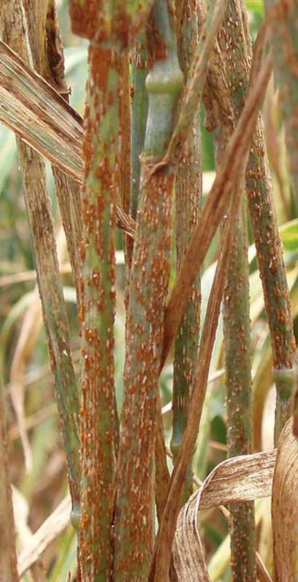 Ug99-infected wheat from a nursery in Njoro, Kenya. (Agricultural Research Service)