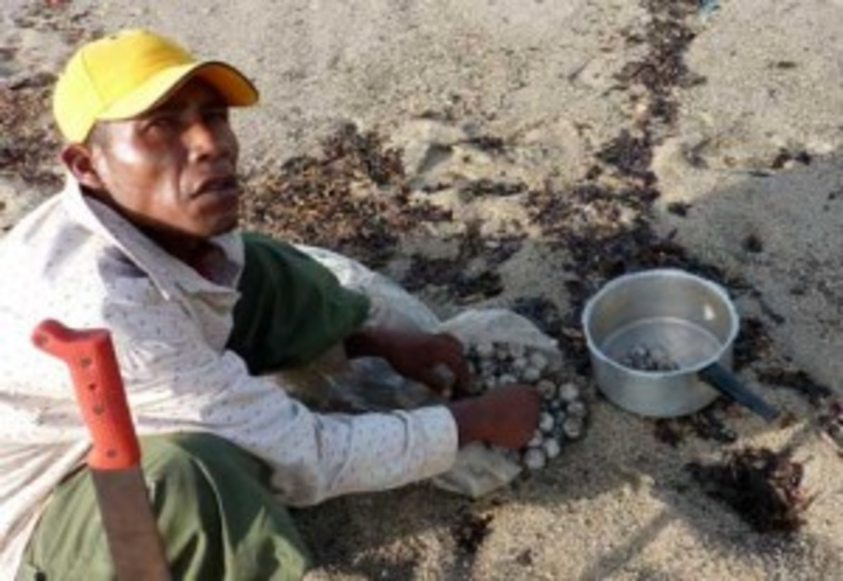 One man collects turtle eggs, which he will sell for 40 cents (U.S.). It's illegal but more representative of the area's cycle of poverty than criminal activity. (Kristian Beadle)