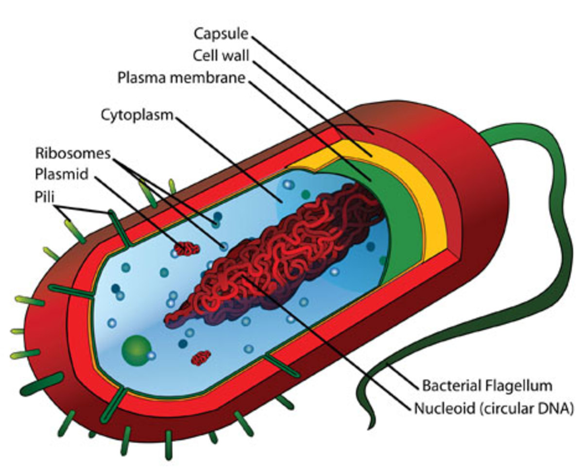 The prokaryotes are a group of organisms that lack a cell nucleus or other membrane-bound organelles. (wikimedia)