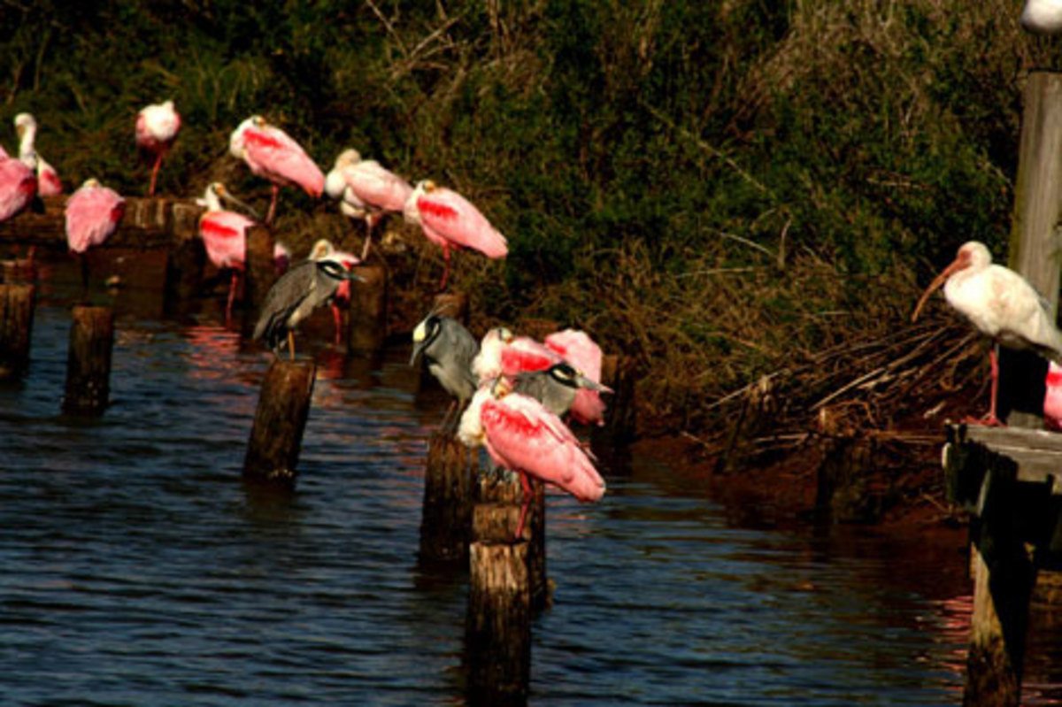 A sample of waterbirds found in the Gulf Coast — a white ibis (on the far right), a bunch of roseate spoonbills and a few yellow-crowned night herons. (Wendee Holtcamp)