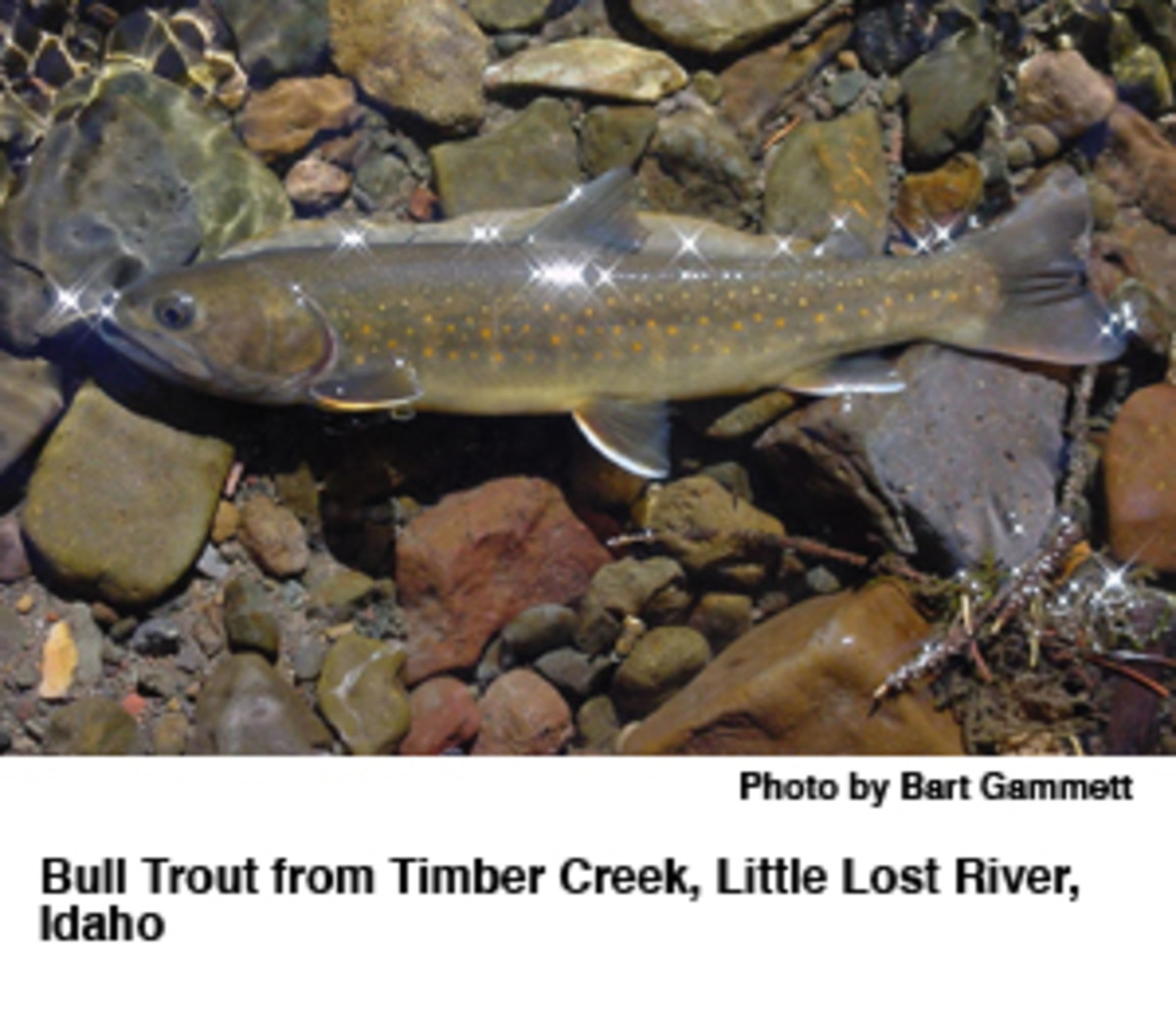 Bull_Trout