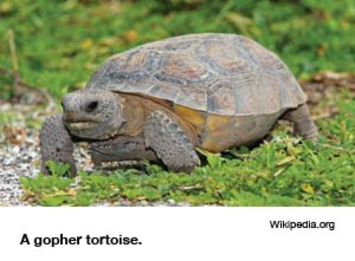 Florida_Gopher_Tortoise_Gopherus_polyphemus