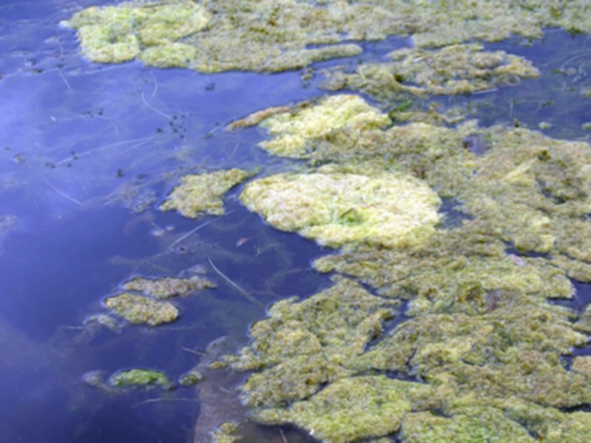 algae_article