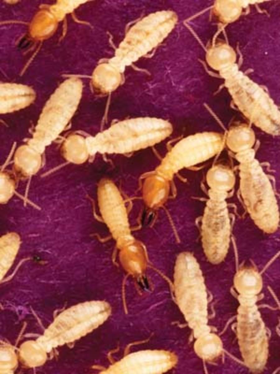 mmp_termites_inset2_0109