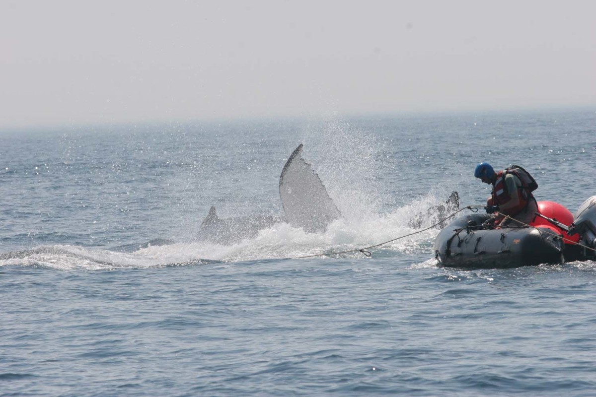 To detangle a humpback whale named Mosquito, Scott Landry starts by attaching buoys to its tail to keep the leviathan from diving deep. (Photo from Provincetown Center for Coastal Studies. Taken under NOAA permit 932-1905.)