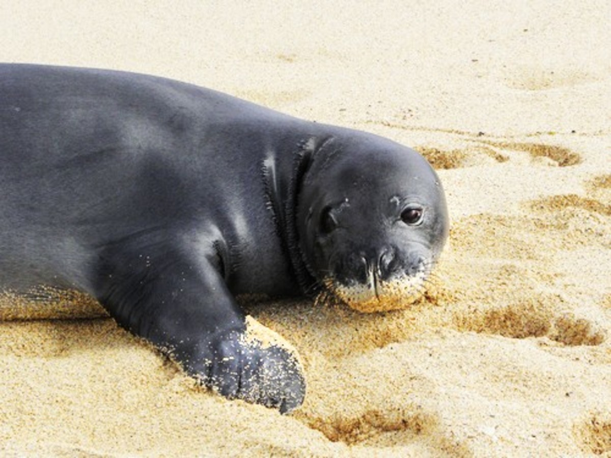 A Hawaiian monk seal ion a beach in Kauai. Is it wise to cull sharks to protect these endangered seals? (Nina B/Shutterstock)