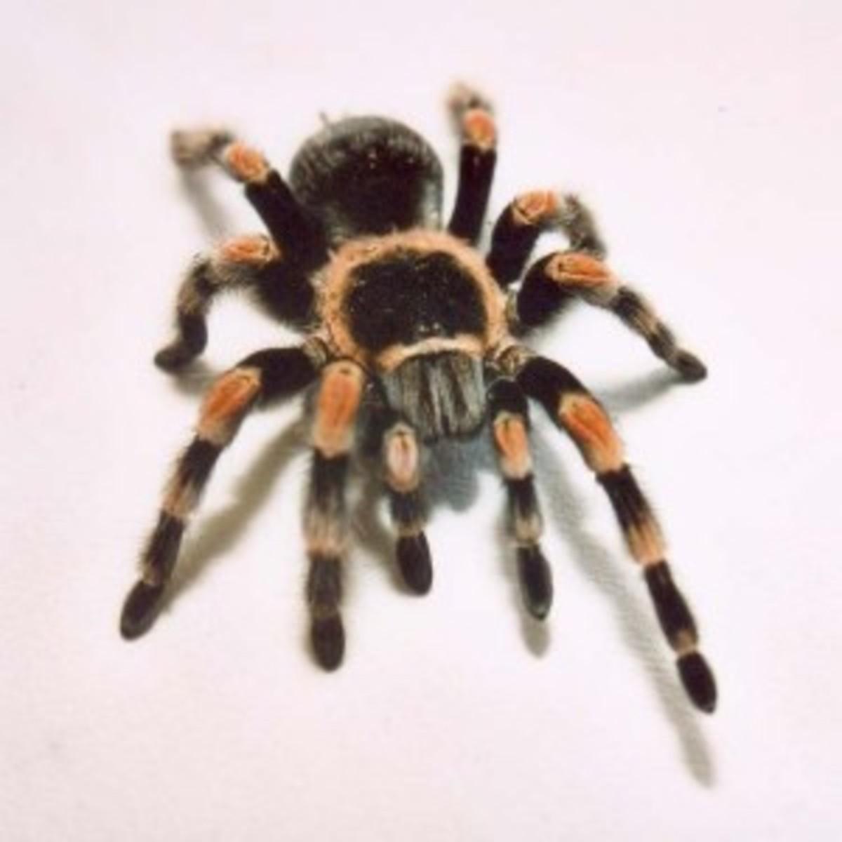 redknee-tarantula-300x300