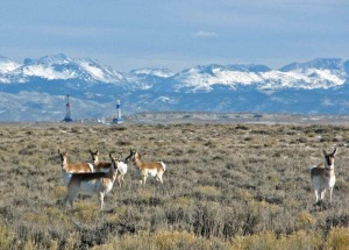 pronghorn-and-rigs-300x215