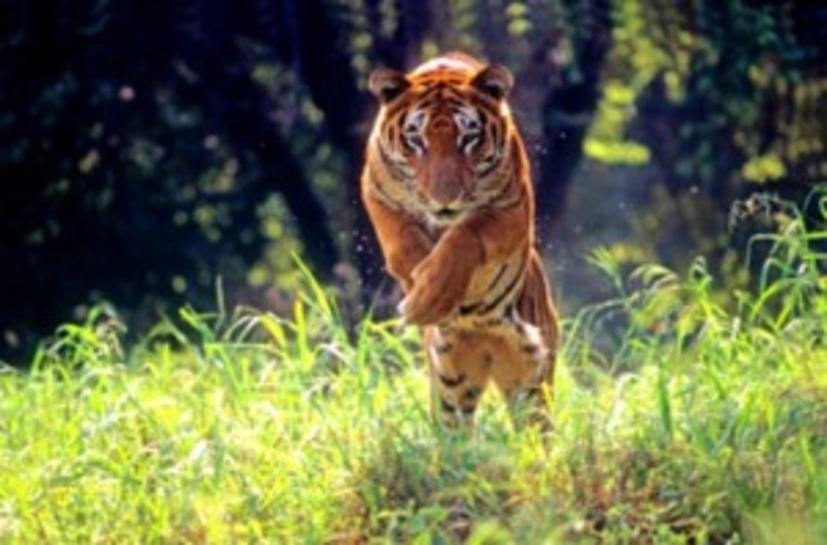 nepal-sukla-phanta-tiger-300x198