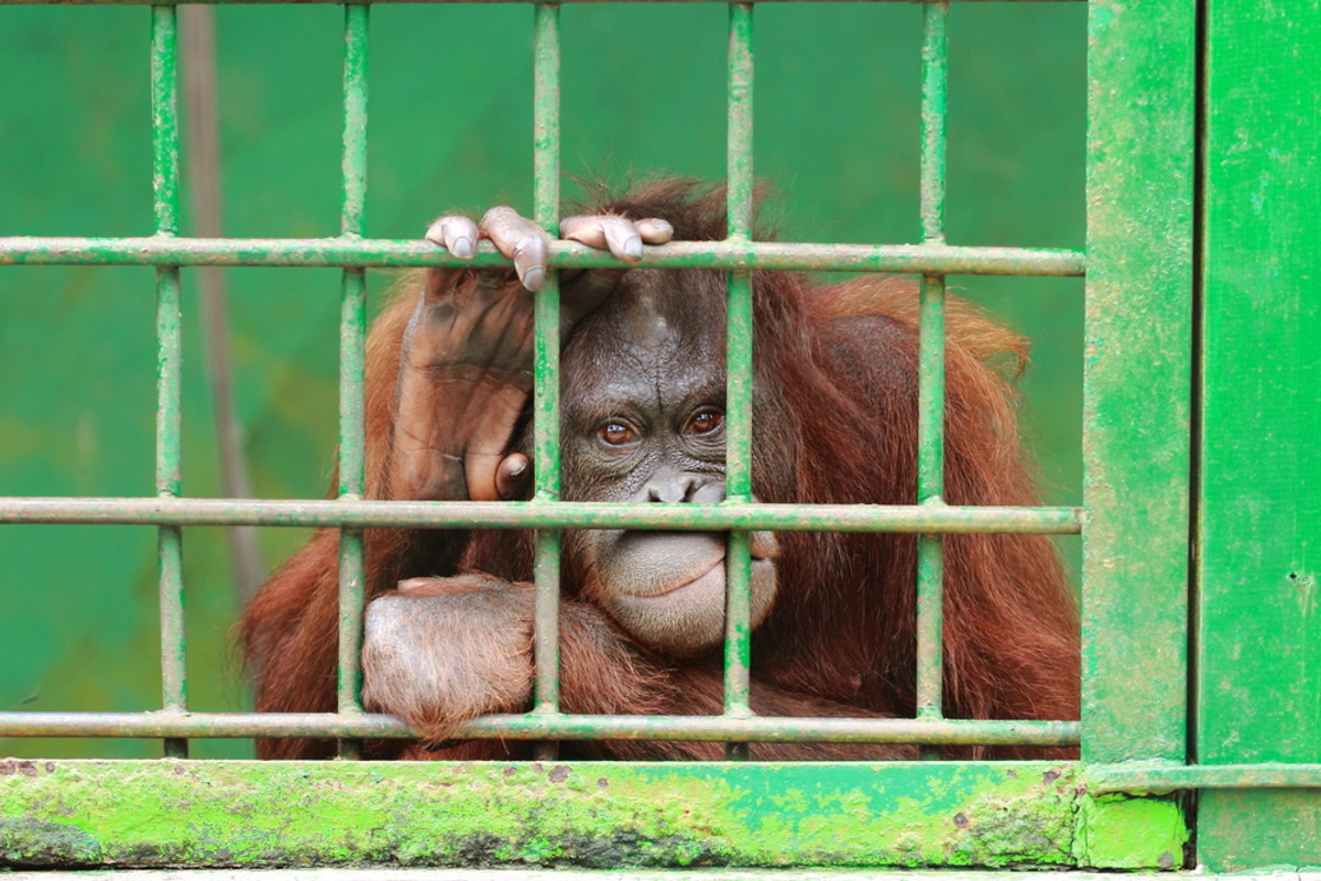 (Sad orangutan photo by airdone/Shuttersock)