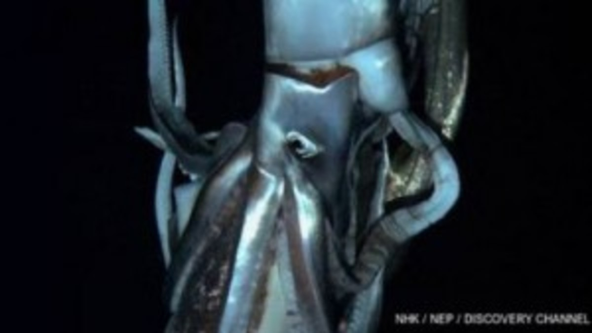 Giant-squid-300x169
