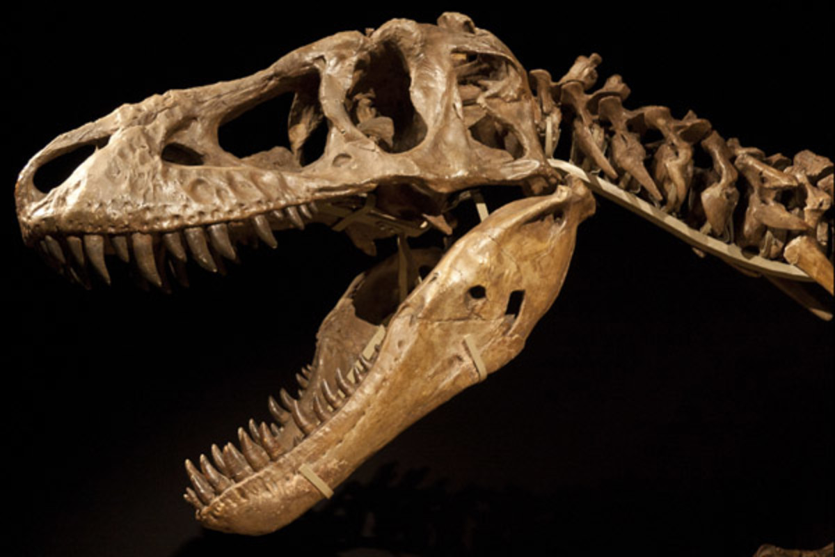 The skeletal head of a Tyrannosaurus bataar, or Tarbosaurus (PHOTO: WIKIMEDIA)