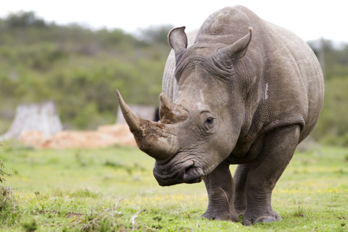 The African White Rhino (PHOTO: JASON PRINCE/SHUTTERSTOCK)
