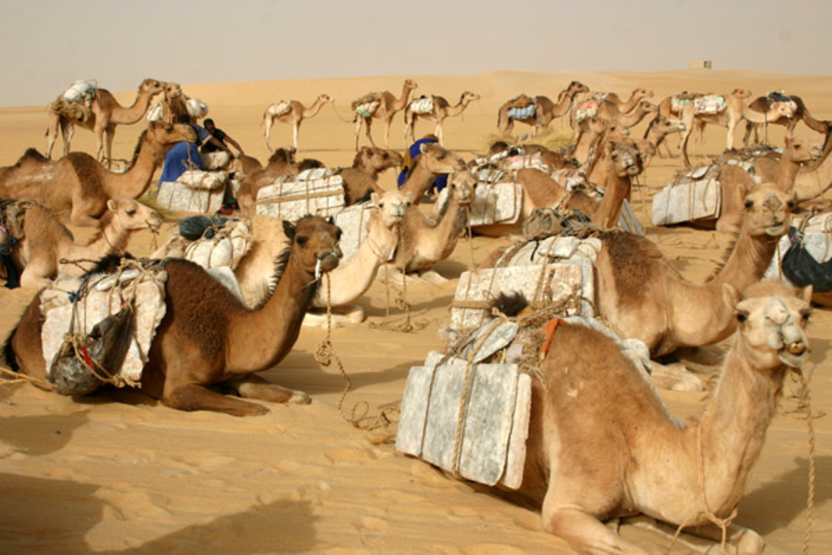 A camel caravan hauling salt to Timbuktu, Mali, rests after a long day's march (PHOTO: SHUTTERSTOCK<)