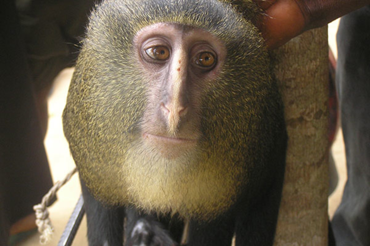 Portrait of adult male Cercopithecus lomamiensis. (PHOTO: MAURICE EMETSHU)