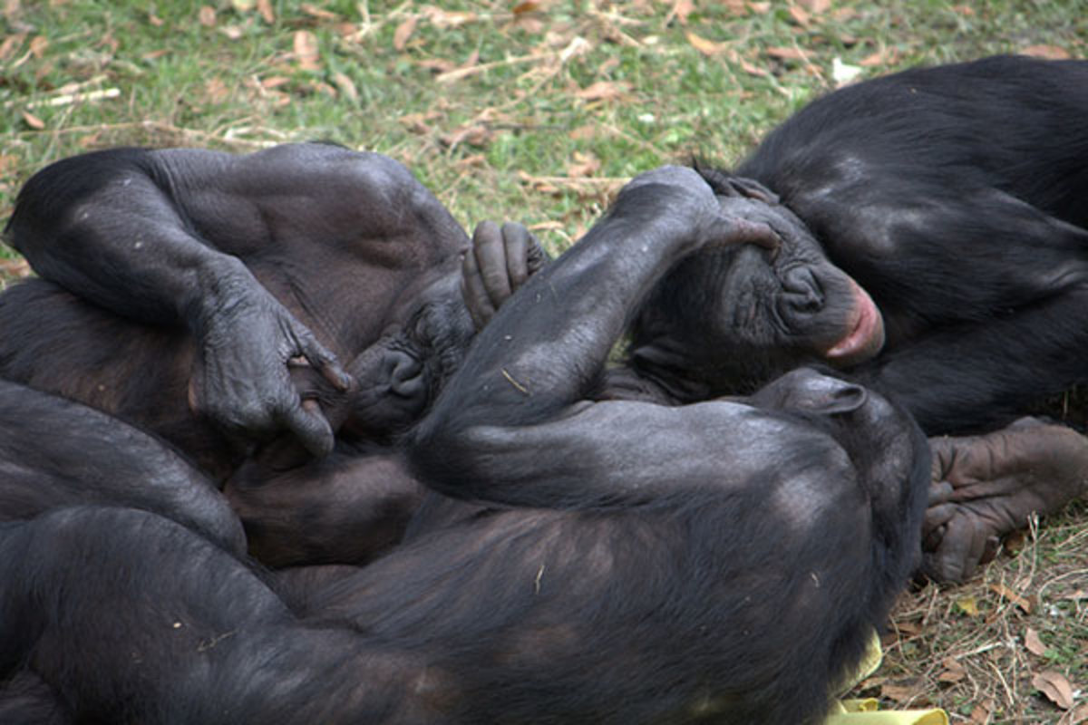 Bonobos Have Lots Of Sex Are Awesome May Hold Key To Our Past