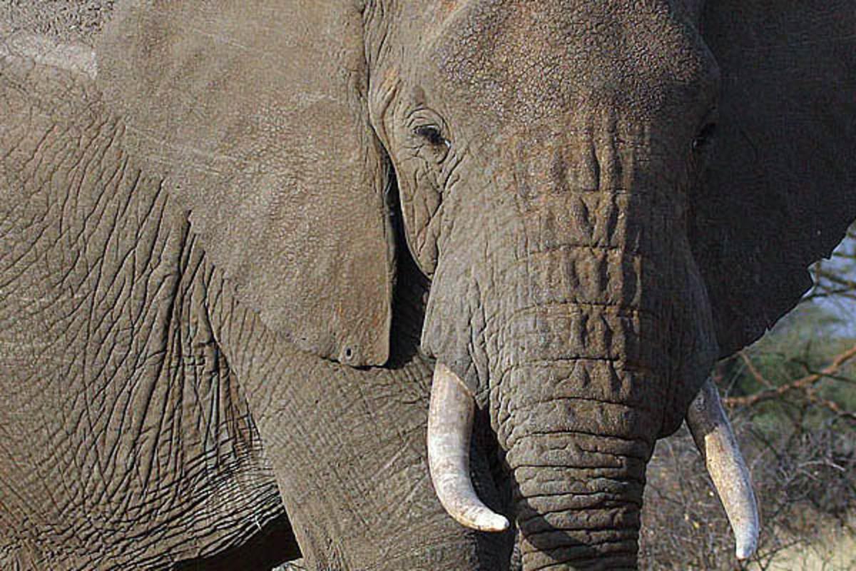 Male African bush elephant. (PHOTO: STEVE GARVIE/WIKIMEDIA COMMONS)