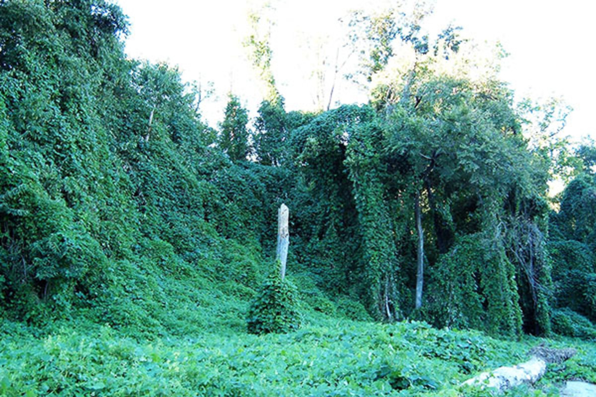 Kudzu growing on trees in Georgia. (PHOTO: PUBLIC DOMAIN)