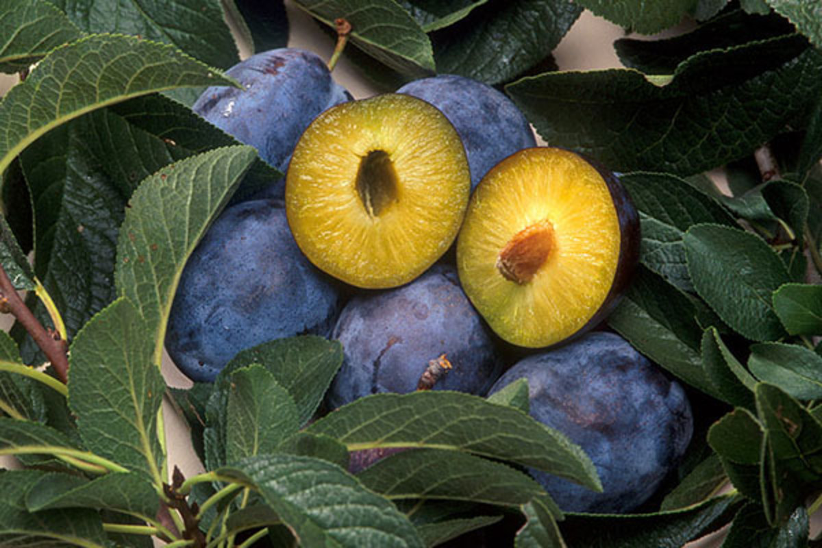 Plums genetically engineered for resistance to plum pox, a disease carried by aphids. (PHOTO: PUBLIC DOMAIN)