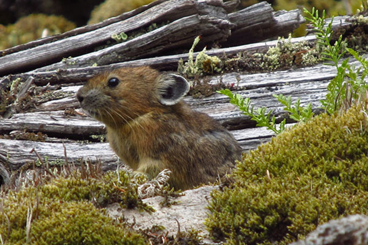 A University of Utah study found the pikas, which normally live at much higher elevations and are threatened by climate change, survive at nearly sea level in Oregon by eating more moss than any other known wild mammal. (PHOTO: MALLORY LAMBERT/UNIVERSITY OF UTAH)