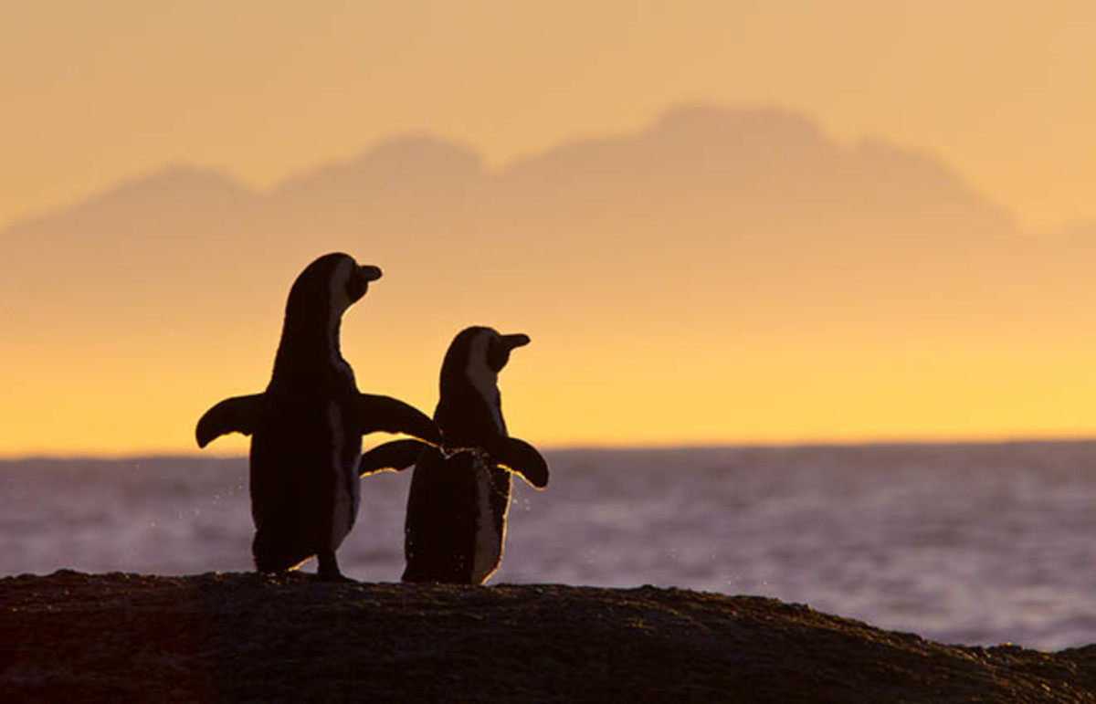 Many types of penguins are known for their serial monogamy. (Photo: Steffen Foerster/Shutterstock)