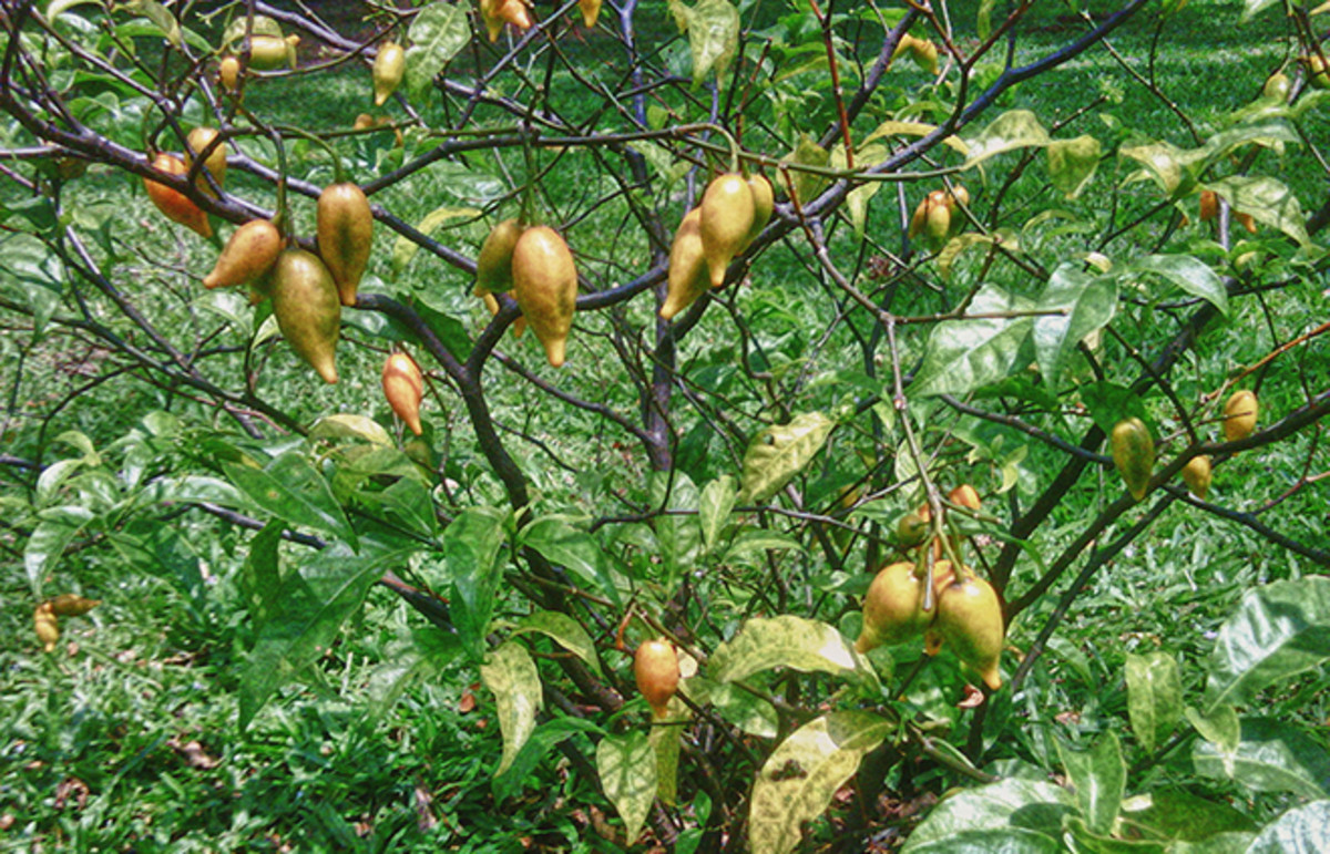 Iboga, a psychedelic shrub native to western Central Africa. (Photo: Public Domain)