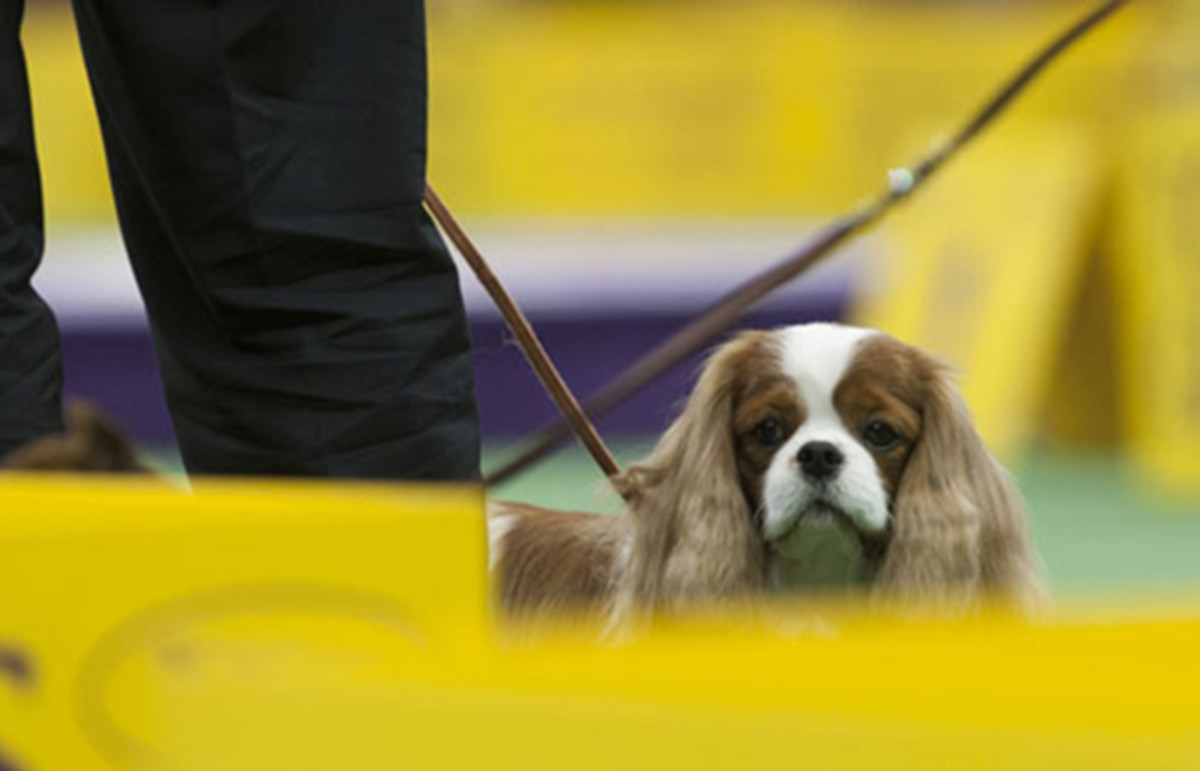 Westminster Kennel Club dog show. (Photo: Mary Bloom and Lisa Croft Elliott)